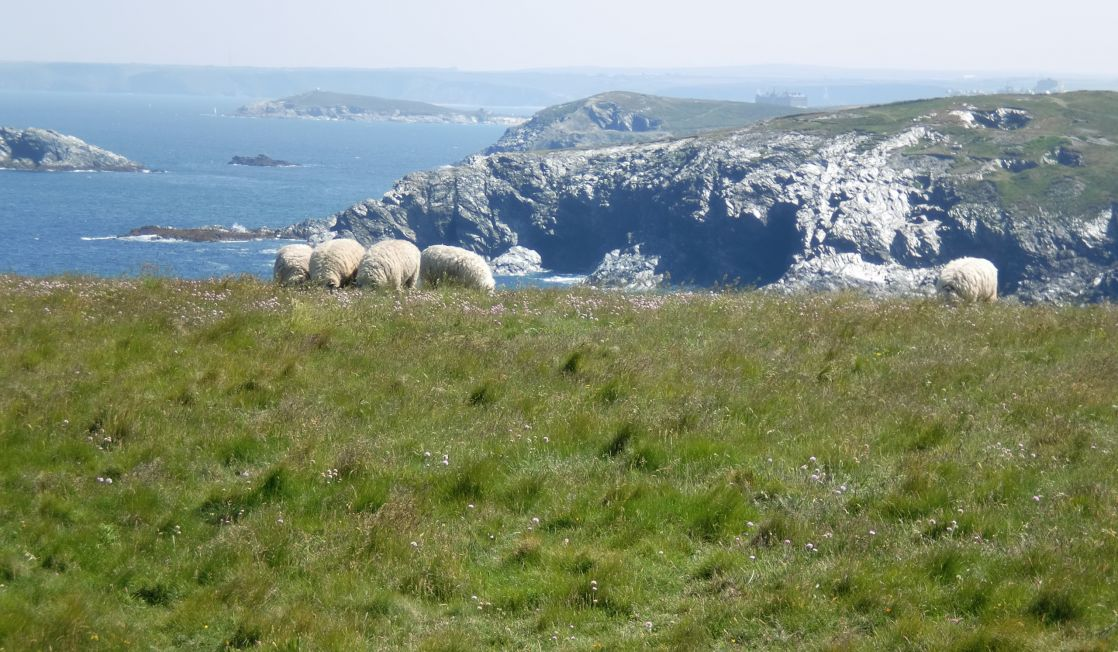 sheep grazing on the coast