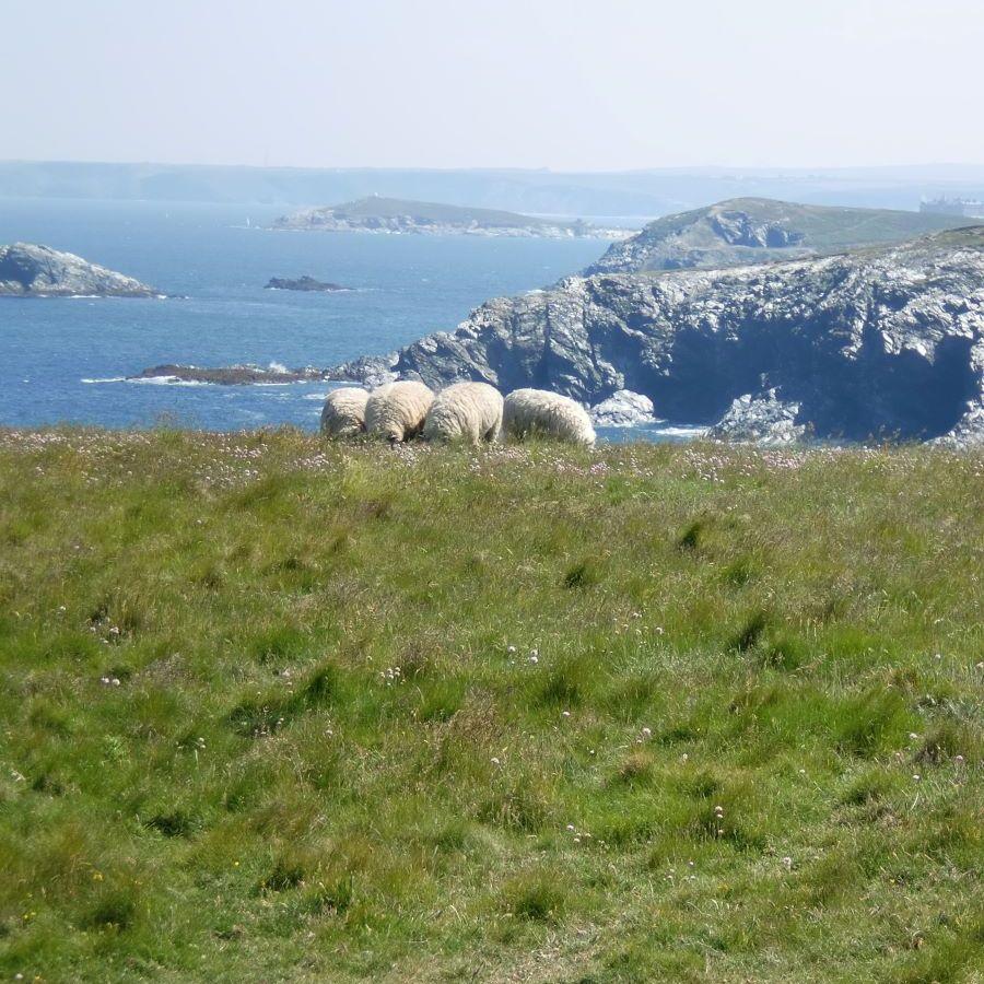 sheep grazing on the coast