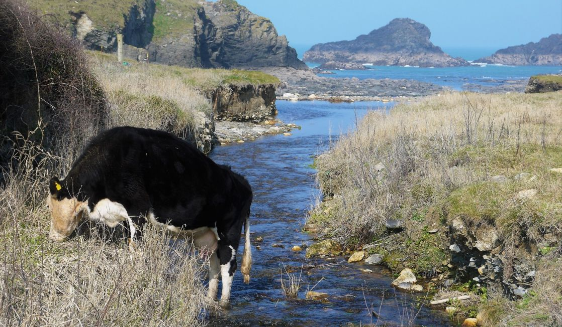 Cattle in the stream at Porthcothan Bay