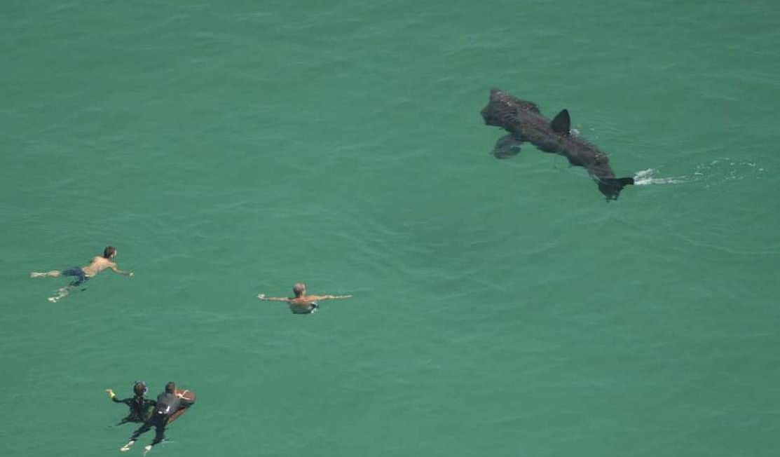 Basking shark with swimmers